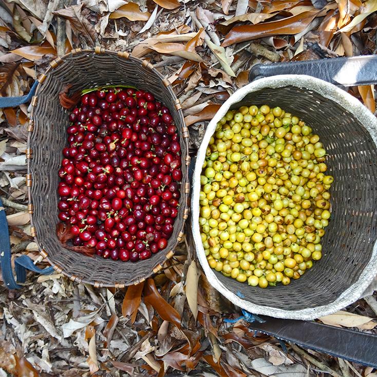 Kaffeeernte Thailand Akha Hilltribes